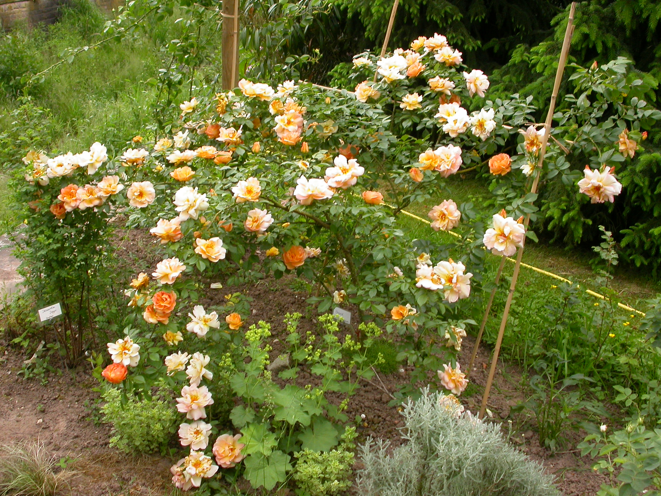 Klettergerüst Rosen : Maigold grönloof rosen hemerocallisverkauf