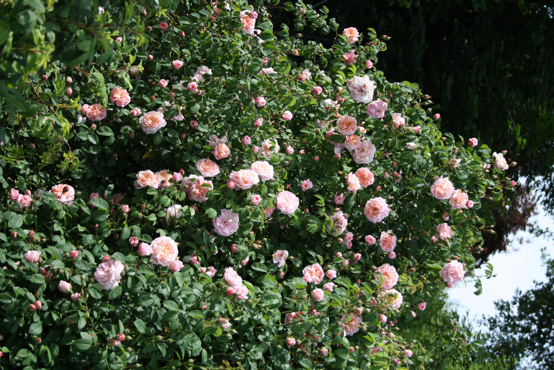 Klettergerüste Für Rosen : Rosenparadies kletterrose flammentanz loccum