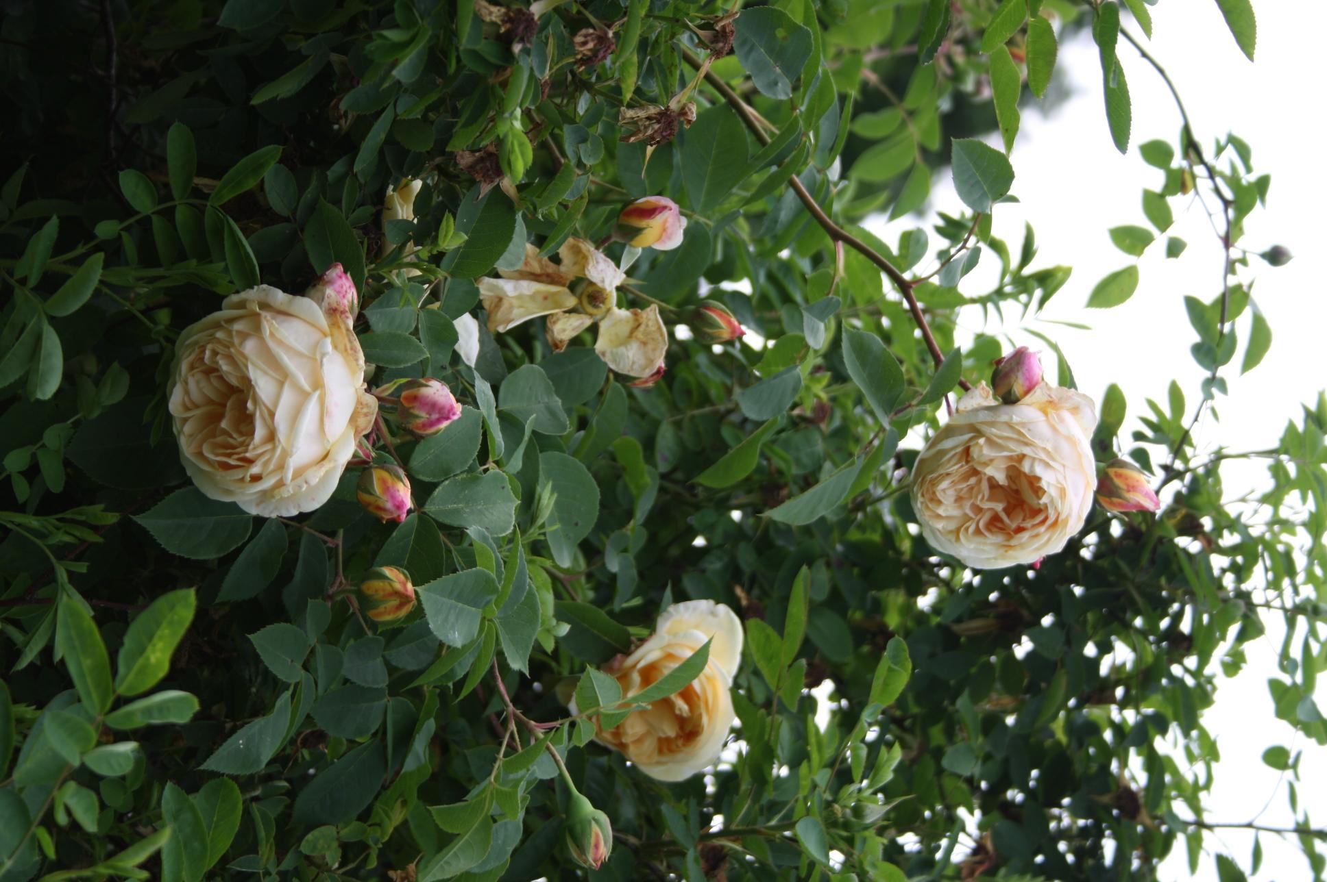 Klettergerüst Rosen : Teasing georgia grönloof rosen & hemerocallisverkauf