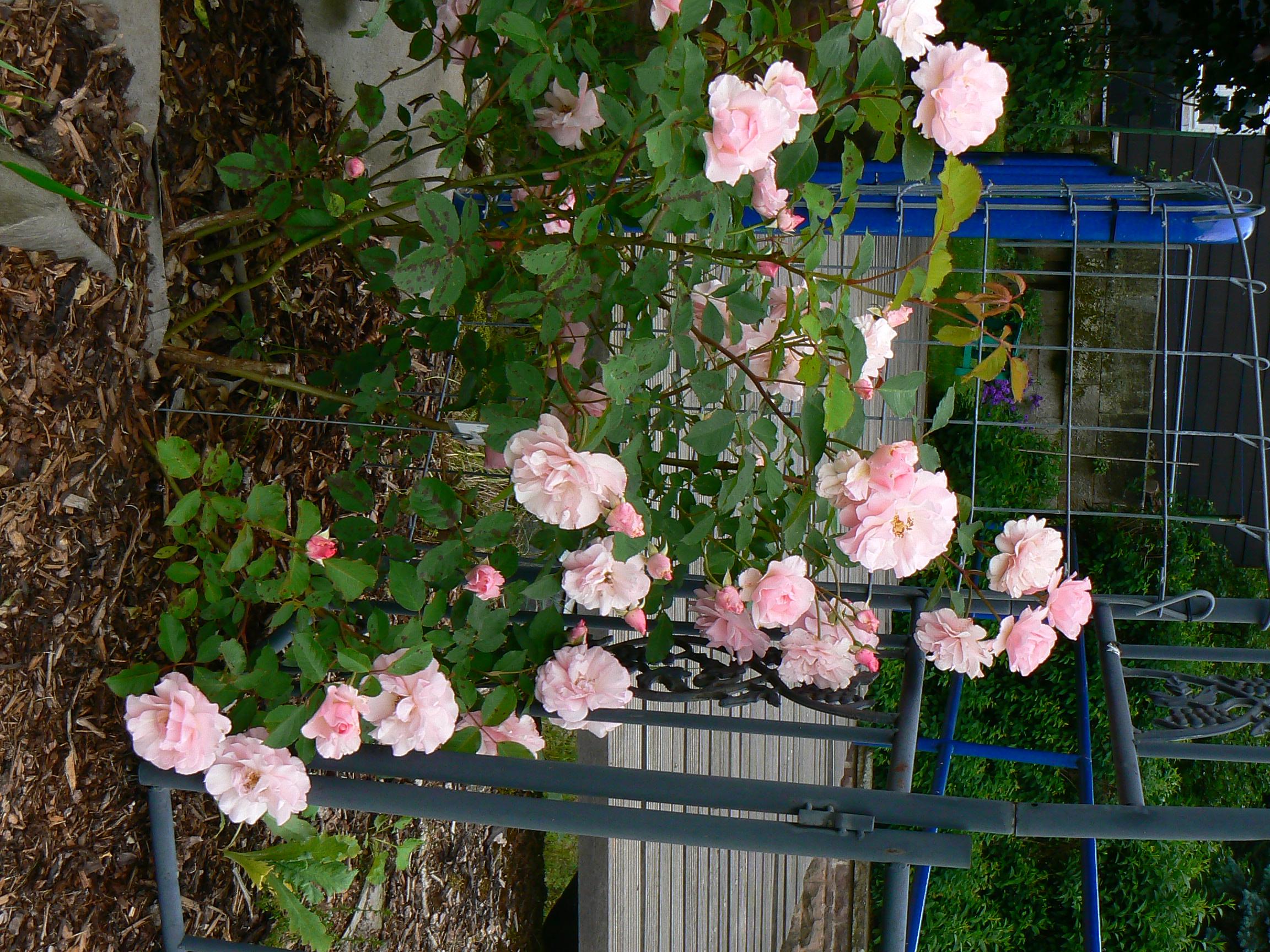 Klettergerüst Rosen : Johanna röpcke grönloof rosen hemerocallisverkauf