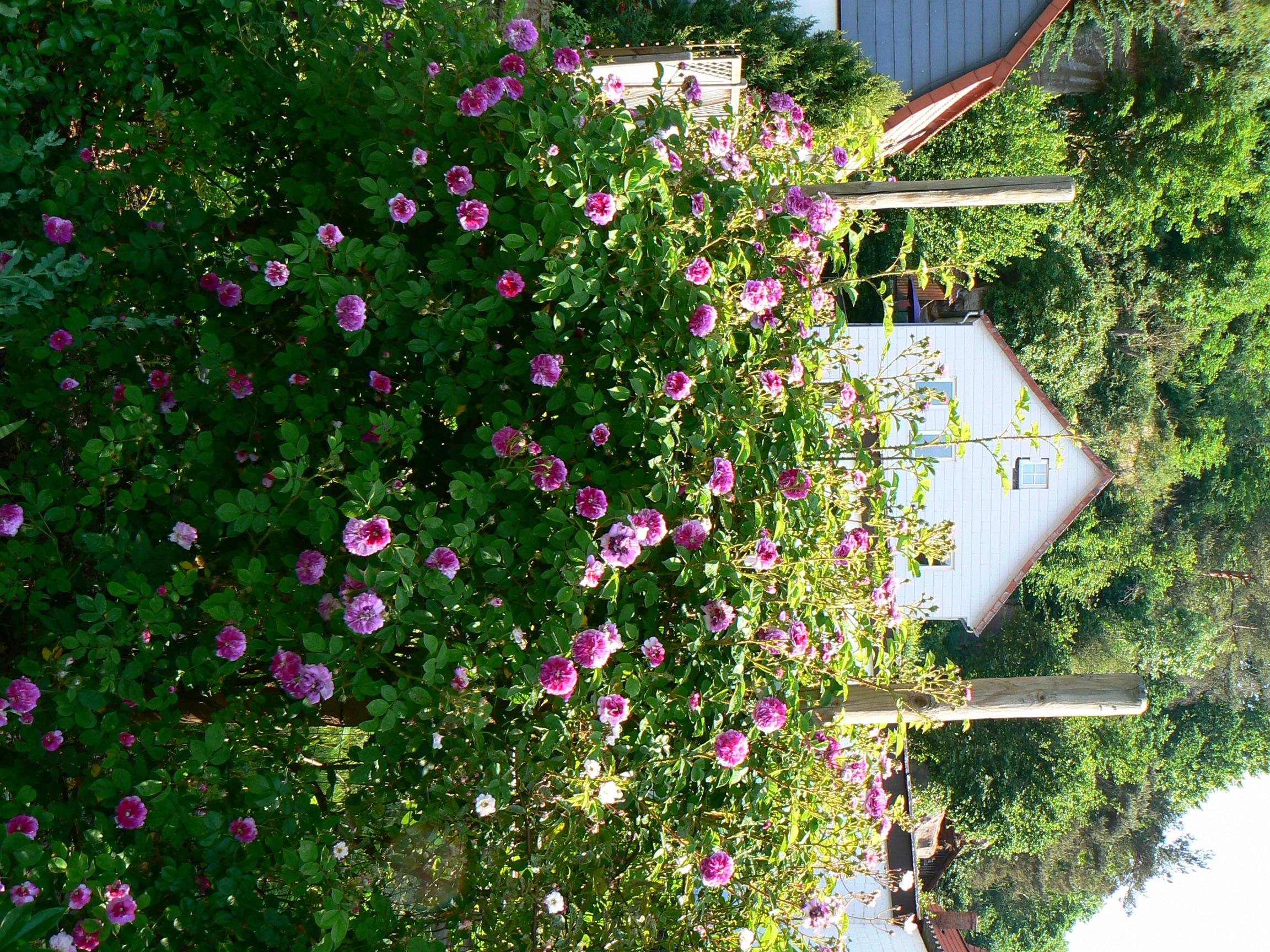 Klettergerüste Für Rosen : Himmelsauge grönloof rosen hemerocallisverkauf