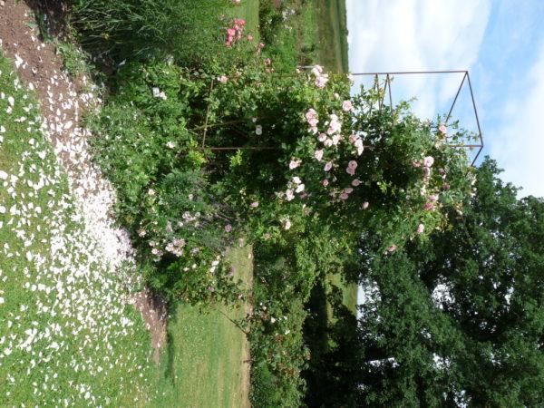 Klettergerüst Rosen : Kir royal grönloof rosen & hemerocallisverkauf