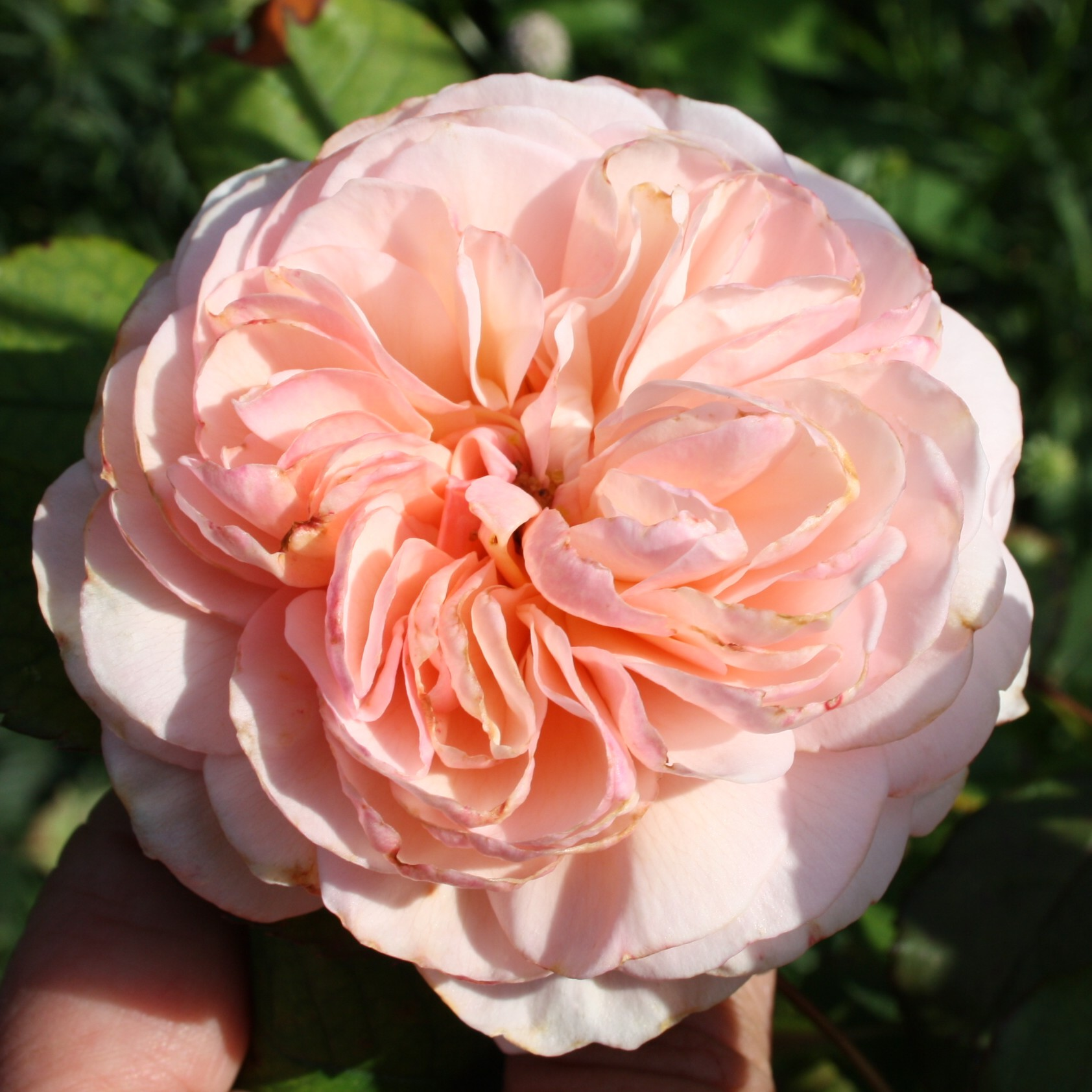 Rose - A Shropshire Lad