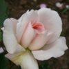 Rose - Vogelpark Walsrode
